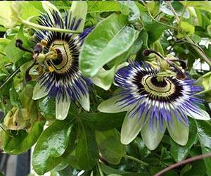 "Top 10 Facts about ""Passiflora""..."