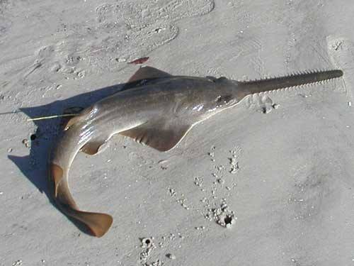 "Top 10 Facts about ""Sawfish""..."