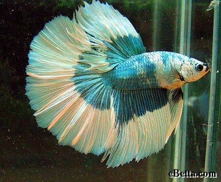 "Top 10 facts about ""Warrior Betta Fish"""
