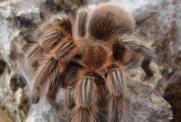 "Top 7 facts about ""Hercules Baboon Spider"""