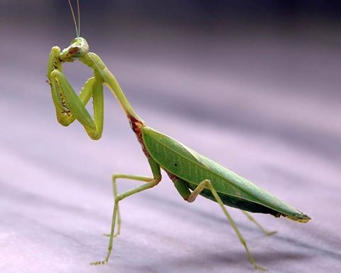 "Top 10 Facts about ""Praying mantis"" (Stick insect)"